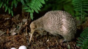Foto-NZ-kiwi-1